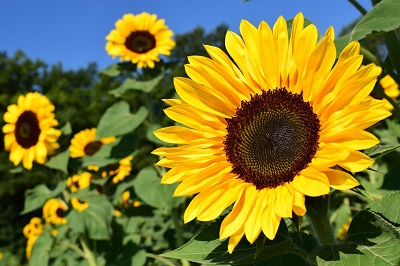 slunecnicesunflower-1627193_960_720